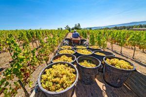 Temecula wine harvest